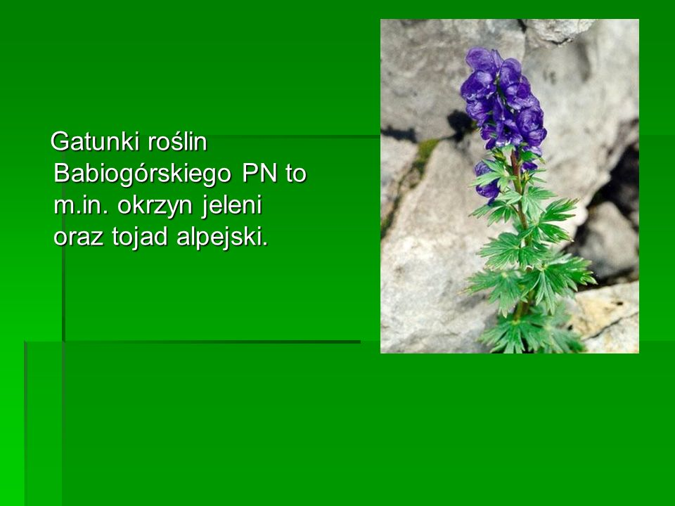 Gatunki roślin Babiogórskiego PN to m.in. okrzyn jeleni oraz tojad alpejski. Gatunki roślin Babiogórskiego PN to m.in. okrzyn jeleni oraz tojad alpejs