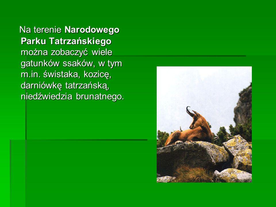 Na terenie Narodowego Parku Tatrzańskiego można zobaczyć wiele gatunków ssaków, w tym m.in. świstaka, kozicę, darniówkę tatrzańską, niedźwiedzia bruna