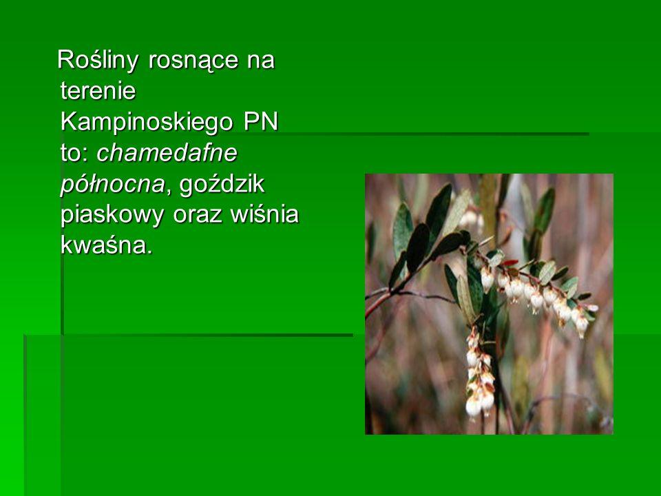 Rośliny rosnące na terenie Kampinoskiego PN to: chamedafne północna, goździk piaskowy oraz wiśnia kwaśna. Rośliny rosnące na terenie Kampinoskiego PN