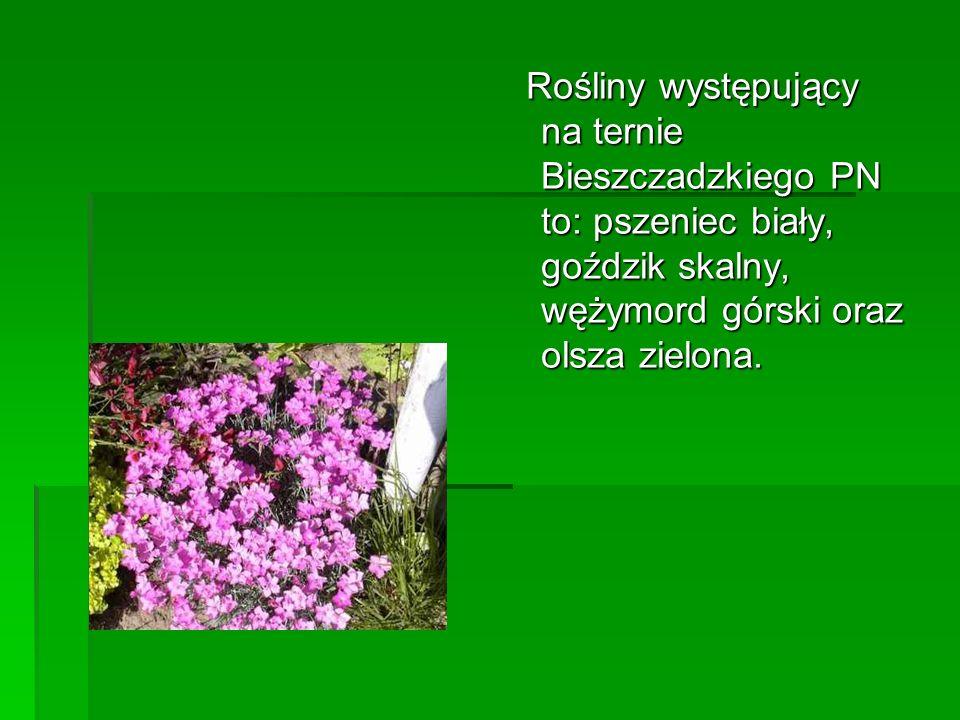 Rośliny występujący na ternie Bieszczadzkiego PN to: pszeniec biały, goździk skalny, wężymord górski oraz olsza zielona. Rośliny występujący na ternie