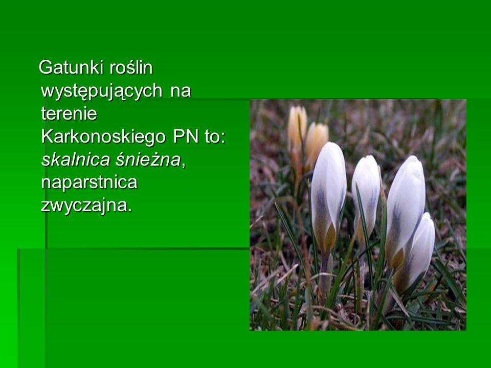 Gatunki roślin występujących na terenie Karkonoskiego PN to: skalnica śnieżna, naparstnica zwyczajna. Gatunki roślin występujących na terenie Karkonos
