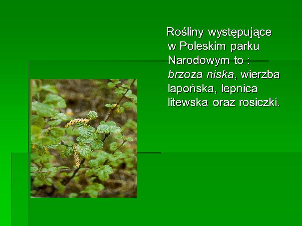 Rośliny występujące w Poleskim parku Narodowym to : brzoza niska, wierzba lapońska, lepnica litewska oraz rosiczki. Rośliny występujące w Poleskim par