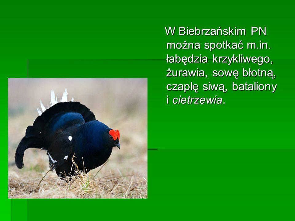 W Biebrzańskim PN można spotkać m.in. łabędzia krzykliwego, żurawia, sowę błotną, czaplę siwą, bataliony i cietrzewia. W Biebrzańskim PN można spotkać