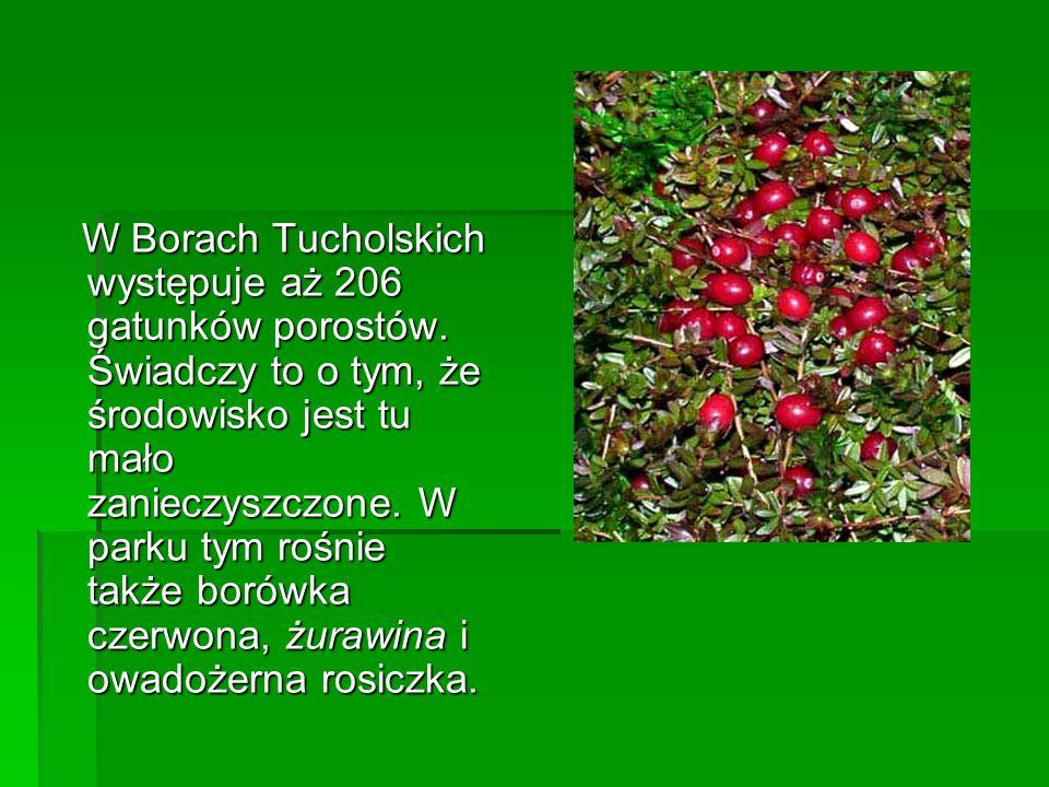 W Borach Tucholskich występuje aż 206 gatunków porostów. Świadczy to o tym, że środowisko jest tu mało zanieczyszczone. W parku tym rośnie także borów