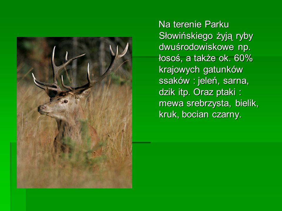 Na terenie Parku Słowińskiego żyją ryby dwuśrodowiskowe np. łosoś, a także ok. 60% krajowych gatunków ssaków : jeleń, sarna, dzik itp. Oraz ptaki : me
