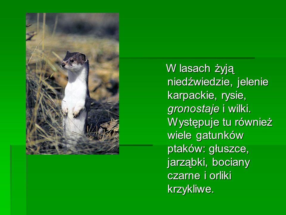 W lasach żyją niedźwiedzie, jelenie karpackie, rysie, gronostaje i wilki. Występuje tu również wiele gatunków ptaków: głuszce, jarząbki, bociany czarn