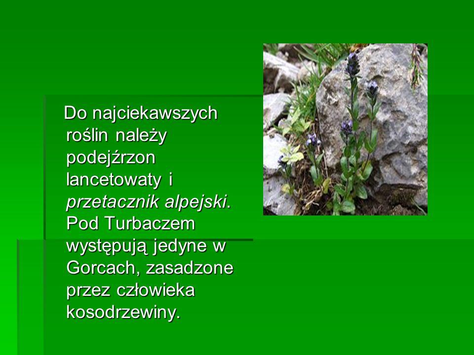 Do najciekawszych roślin należy podejźrzon lancetowaty i przetacznik alpejski. Pod Turbaczem występują jedyne w Gorcach, zasadzone przez człowieka kos