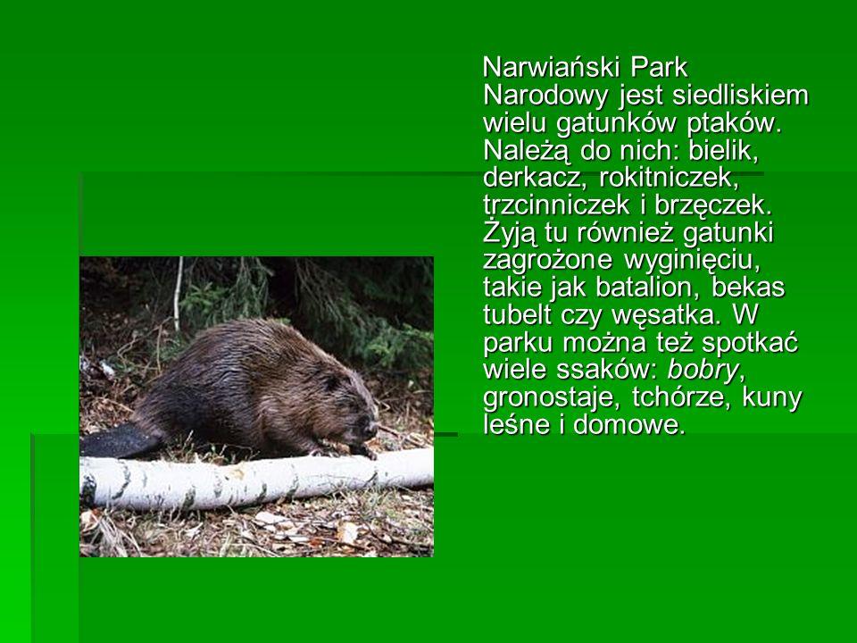 Narwiański Park Narodowy jest siedliskiem wielu gatunków ptaków. Należą do nich: bielik, derkacz, rokitniczek, trzcinniczek i brzęczek. Żyją tu równie