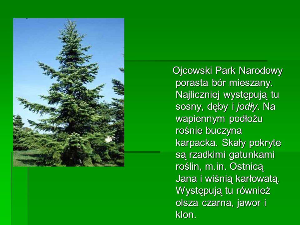 Ojcowski Park Narodowy porasta bór mieszany. Najliczniej występują tu sosny, dęby i jodły. Na wapiennym podłożu rośnie buczyna karpacka. Skały pokryte