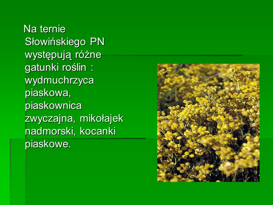 Na ternie Słowińskiego PN występują różne gatunki roślin : wydmuchrzyca piaskowa, piaskownica zwyczajna, mikołajek nadmorski, kocanki piaskowe. Na ter