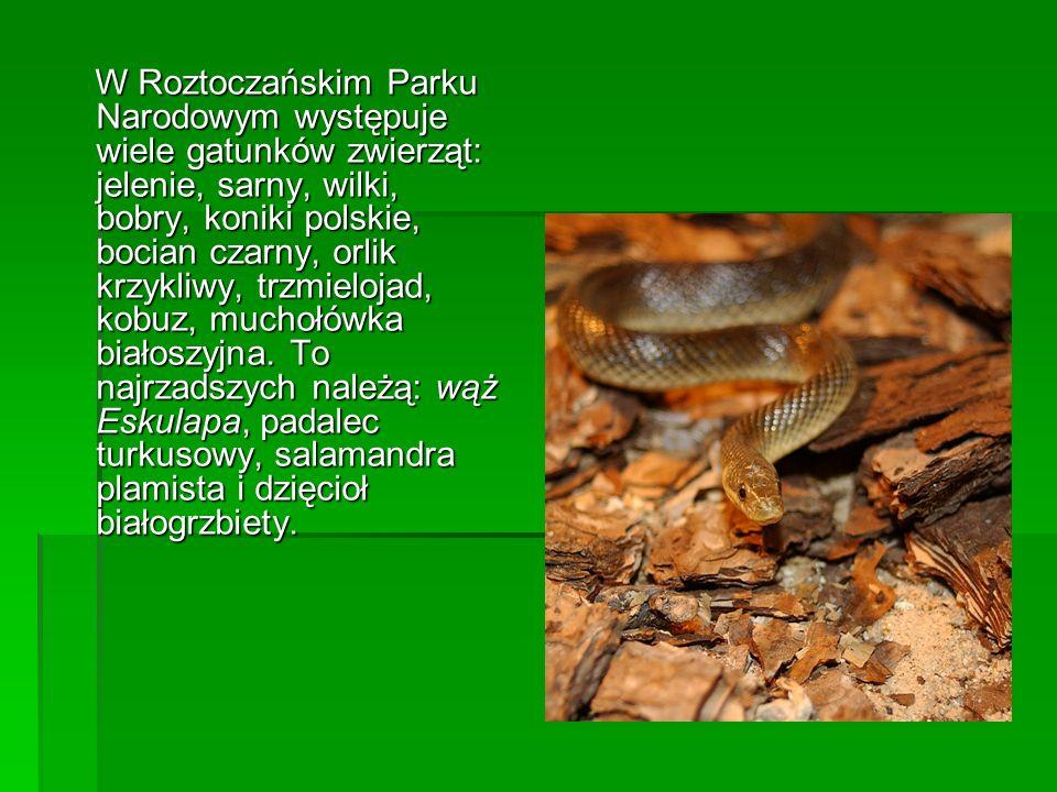 W Roztoczańskim Parku Narodowym występuje wiele gatunków zwierząt: jelenie, sarny, wilki, bobry, koniki polskie, bocian czarny, orlik krzykliwy, trzmi