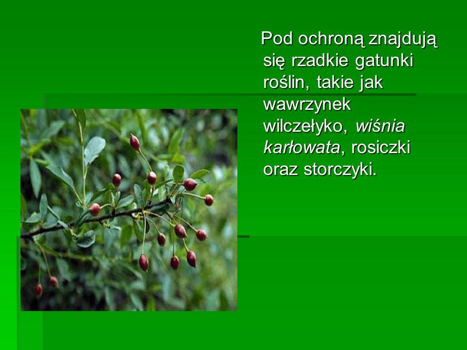 Pod ochroną znajdują się rzadkie gatunki roślin, takie jak wawrzynek wilczełyko, wiśnia karłowata, rosiczki oraz storczyki. Pod ochroną znajdują się r