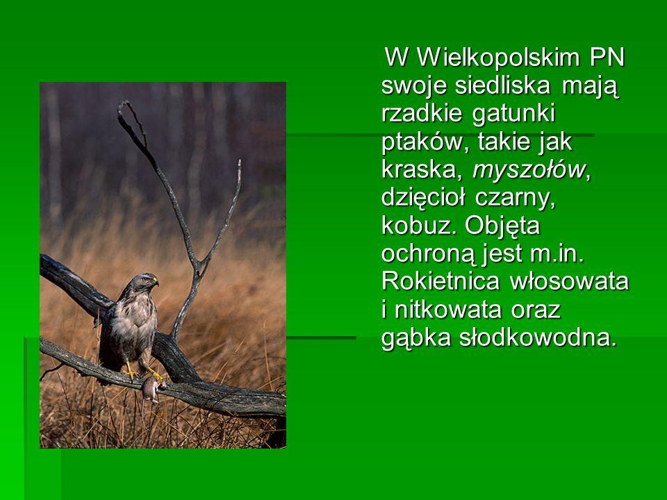 W Wielkopolskim PN swoje siedliska mają rzadkie gatunki ptaków, takie jak kraska, myszołów, dzięcioł czarny, kobuz. Objęta ochroną jest m.in. Rokietni