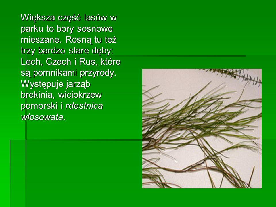 Większa część lasów w parku to bory sosnowe mieszane. Rosną tu też trzy bardzo stare dęby: Lech, Czech i Rus, które są pomnikami przyrody. Występuje j