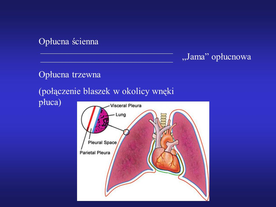 Opłucna ścienna Opłucna trzewna (połączenie blaszek w okolicy wnęki płuca) Jama opłucnowa