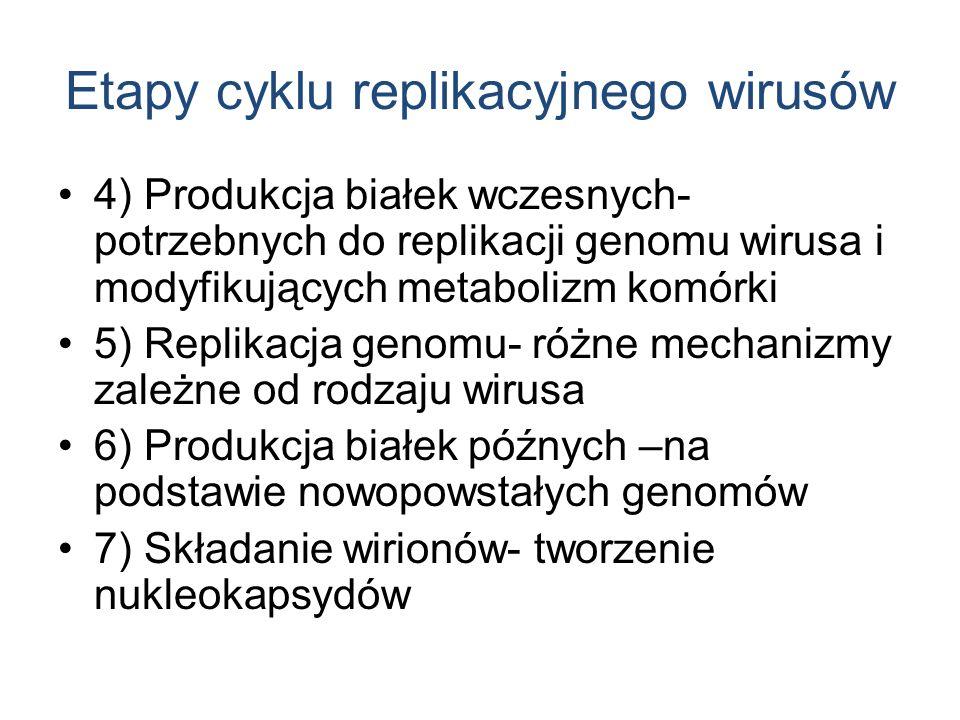 Etapy cyklu replikacyjnego wirusów 4) Produkcja białek wczesnych- potrzebnych do replikacji genomu wirusa i modyfikujących metabolizm komórki 5) Repli