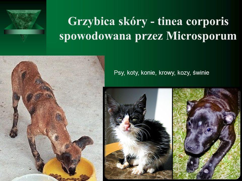 Grzybica skóry - tinea corporis spowodowana przez Microsporum Psy, koty, konie, krowy, kozy, świnie