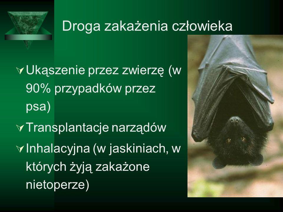 Droga zakażenia człowieka Ukąszenie przez zwierzę (w 90% przypadków przez psa) Transplantacje narządów Inhalacyjna (w jaskiniach, w których żyją zakaż