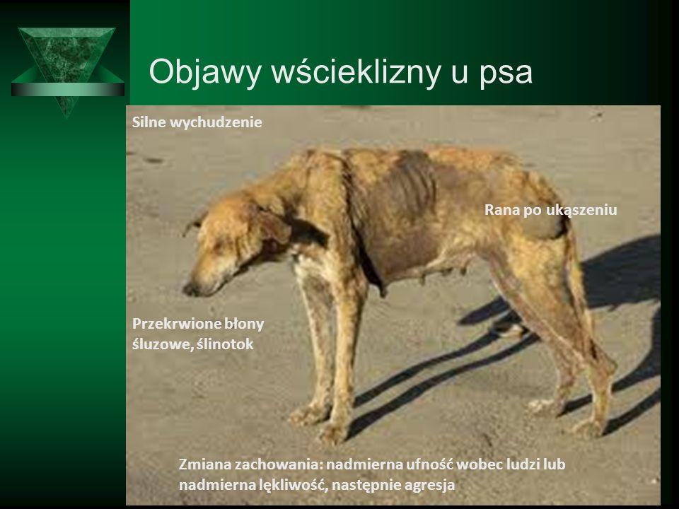 Objawy wścieklizny u psa Silne wychudzenie Rana po ukąszeniu Przekrwione błony śluzowe, ślinotok Zmiana zachowania: nadmierna ufność wobec ludzi lub n