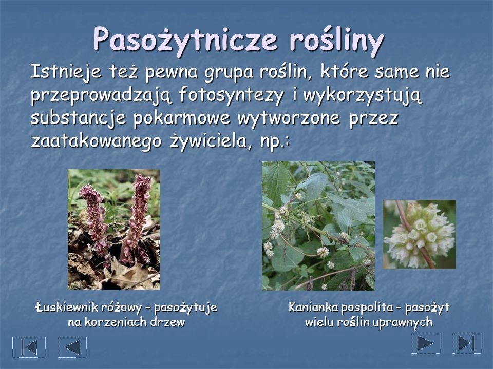 Pasożytnicze rośliny Istnieje też pewna grupa roślin, które same nie przeprowadzają fotosyntezy i wykorzystują substancje pokarmowe wytworzone przez z