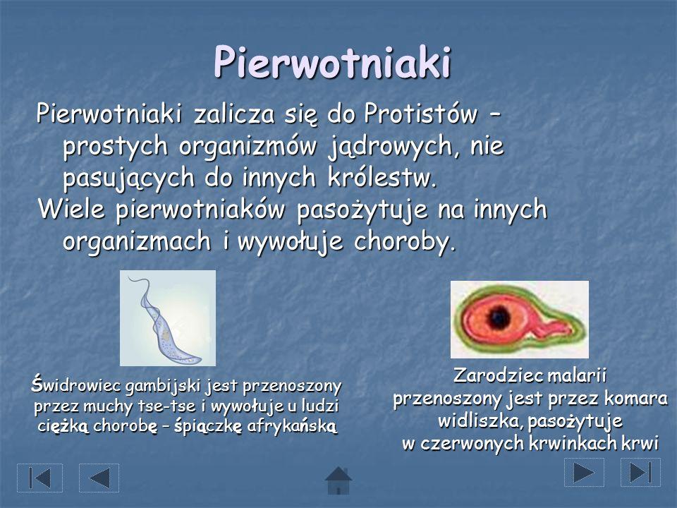 Pierwotniaki Pierwotniaki zalicza się do Protistów – prostych organizmów jądrowych, nie pasujących do innych królestw. Wiele pierwotniaków pasożytuje
