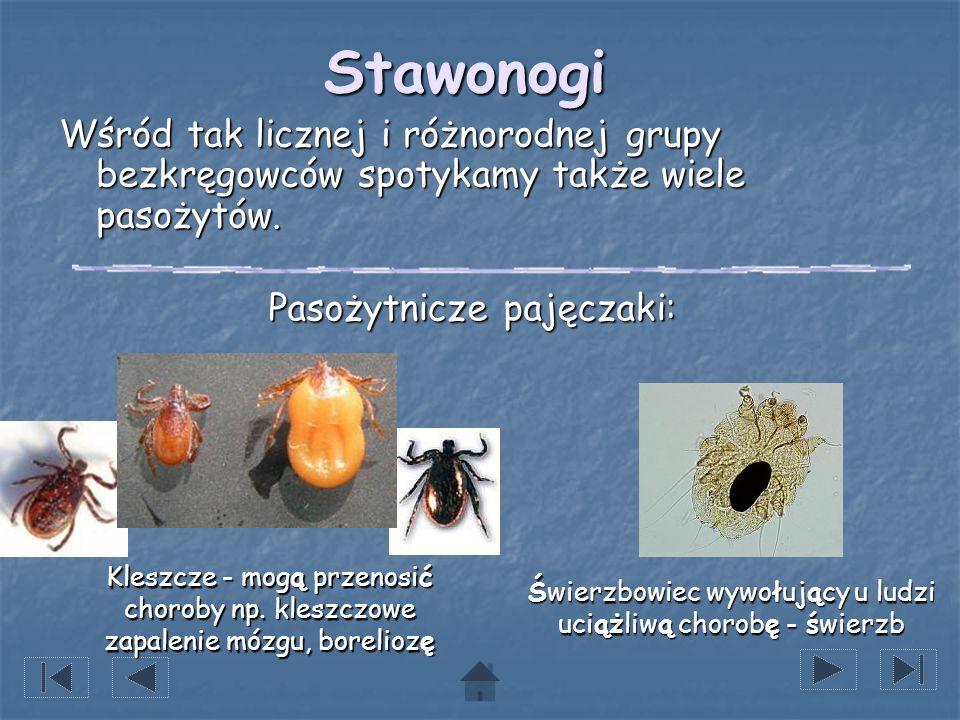 Stawonogi Wśród tak licznej i różnorodnej grupy bezkręgowców spotykamy także wiele pasożytów. Pasożytnicze pajęczaki: Świerzbowiec wywołujący u ludzi