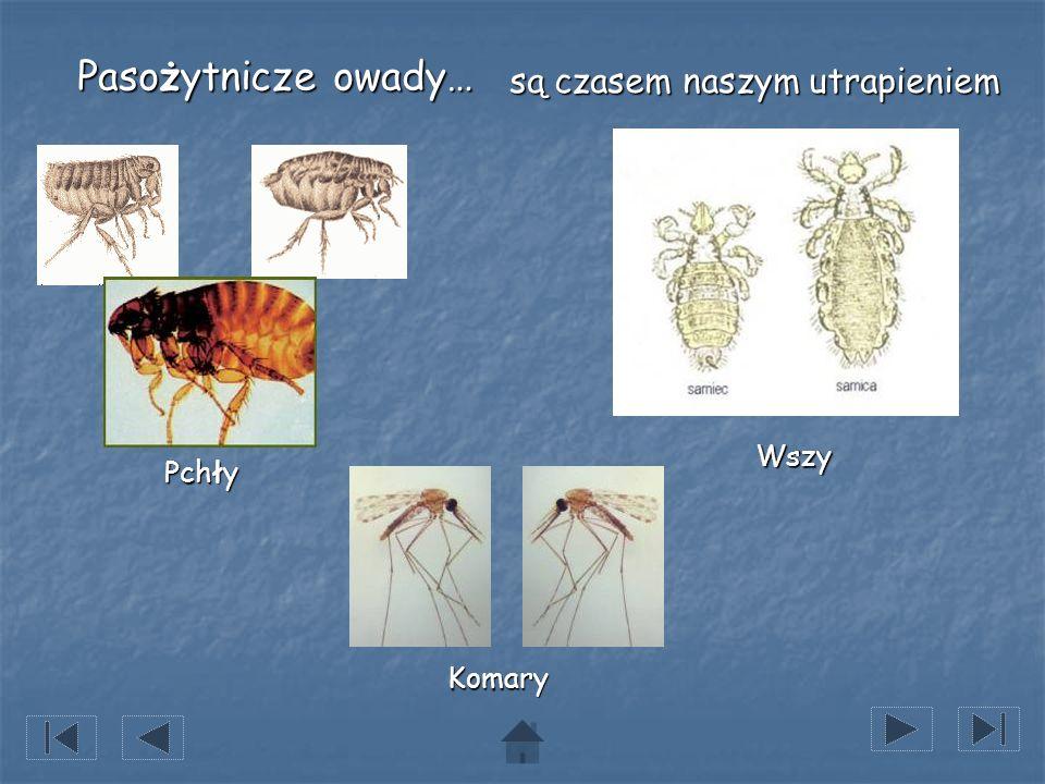 Pasożytnicze owady… Pchły Wszy Komary są czasem naszym utrapieniem