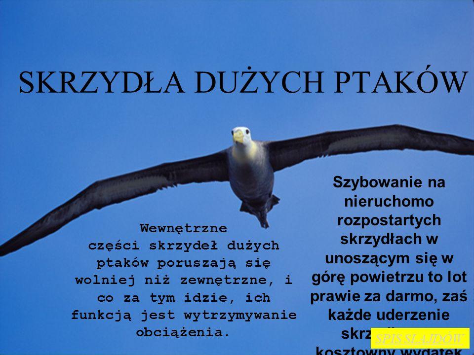 JAK LATAJĄ ALBATROSY Skrzydła ptaków i szybowców mają kształty aerodynamiczne, czyli posiadające mały opór i dużą siłę aerodynamiczną. Albatrosy dzięk
