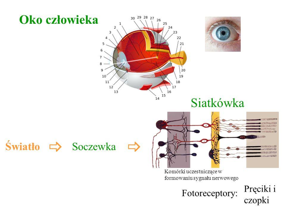 Pręciki i czopki Światło Siatkówka Fotoreceptory: Soczewka Komórki uczestniczące w formowaniu sygnału nerwowego Oko człowieka