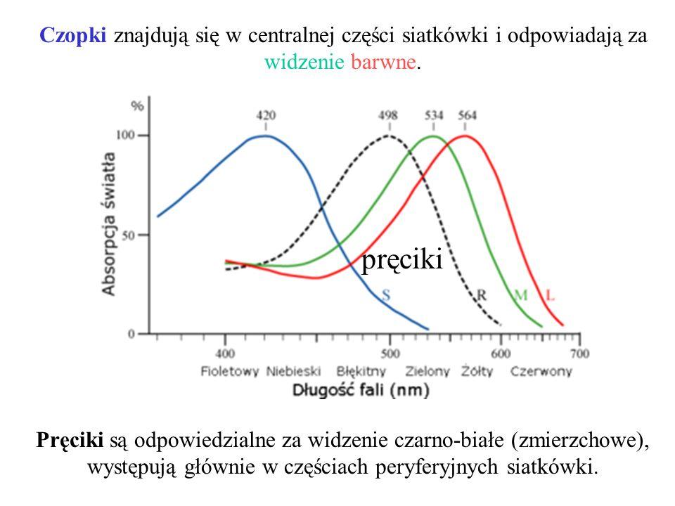 pręciki Pręciki są odpowiedzialne za widzenie czarno-białe (zmierzchowe), występują głównie w częściach peryferyjnych siatkówki. Czopki znajdują się w