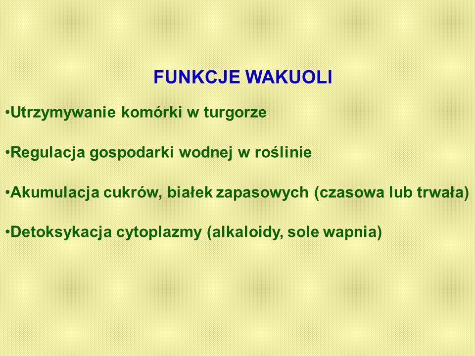 FUNKCJE WAKUOLI Utrzymywanie komórki w turgorze Regulacja gospodarki wodnej w roślinie Akumulacja cukrów, białek zapasowych (czasowa lub trwała) Detok