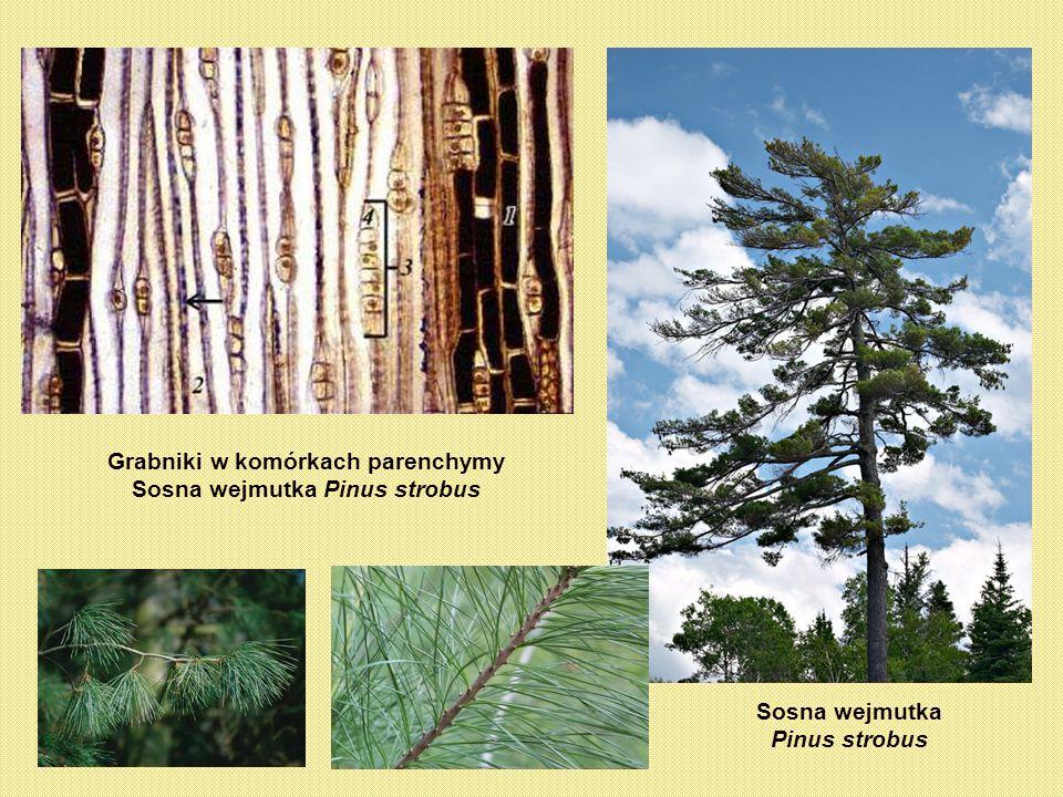 Grabniki w komórkach parenchymy Sosna wejmutka Pinus strobus Sosna wejmutka Pinus strobus