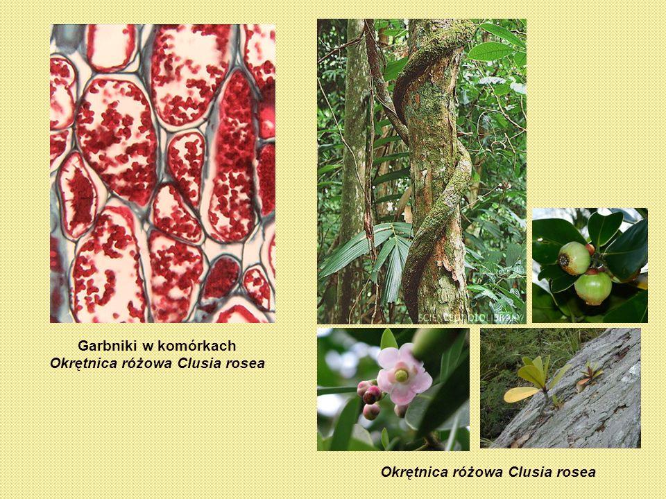 Garbniki w komórkach Okrętnica różowa Clusia rosea