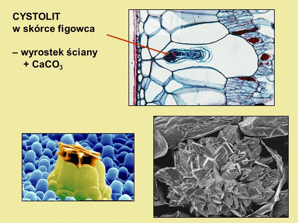 CYSTOLIT w skórce figowca – wyrostek ściany + CaCO 3