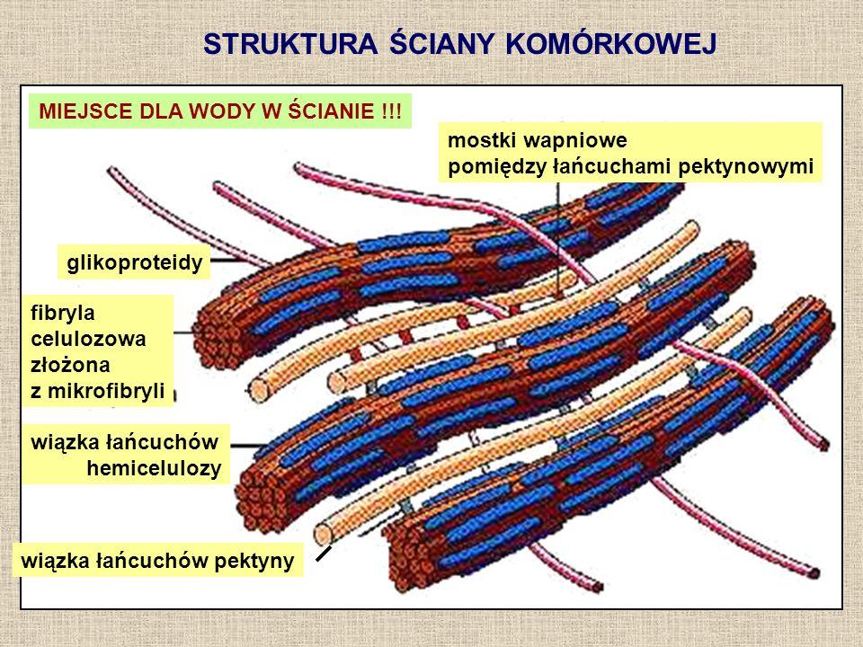 STRUKTURA ŚCIANY KOMÓRKOWEJ mostki wapniowe pomiędzy łańcuchami pektynowymi glikoproteidy fibryla celulozowa złożona z mikrofibryli wiązka łańcuchów h