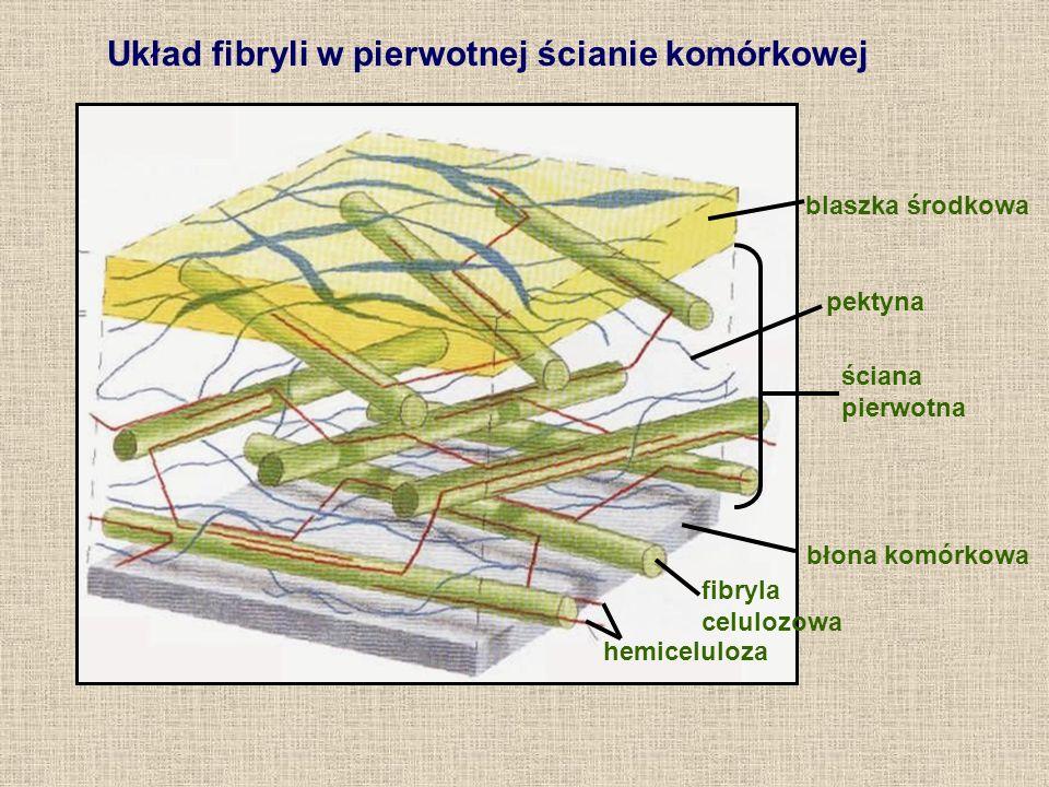 blaszka środkowa ściana pierwotna błona komórkowa hemiceluloza fibryla celulozowa pektyna Układ fibryli w pierwotnej ścianie komórkowej