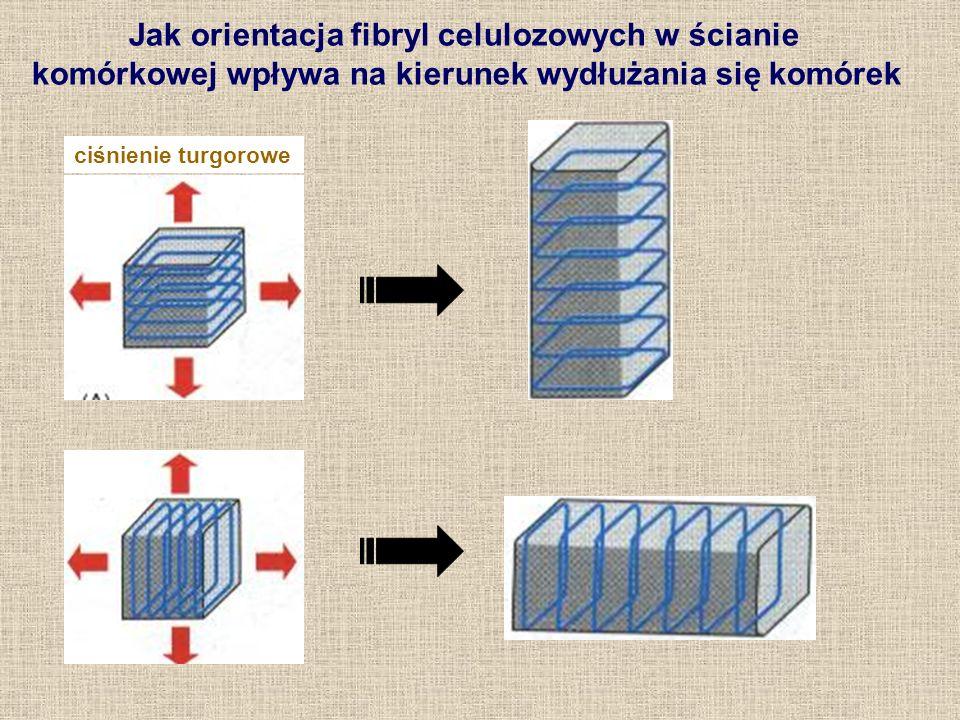 Jak orientacja fibryl celulozowych w ścianie komórkowej wpływa na kierunek wydłużania się komórek ciśnienie turgorowe