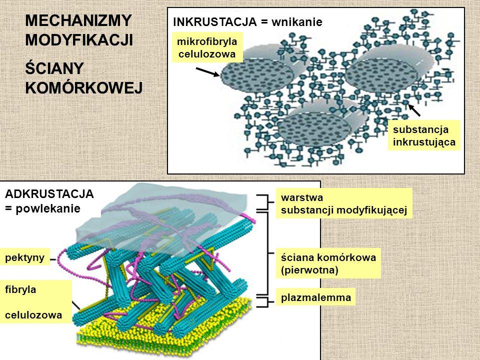 MECHANIZMY MODYFIKACJI ŚCIANY KOMÓRKOWEJ INKRUSTACJA = wnikanie mikrofibryla celulozowa substancja inkrustująca ADKRUSTACJA = powlekanie pektyny fibry