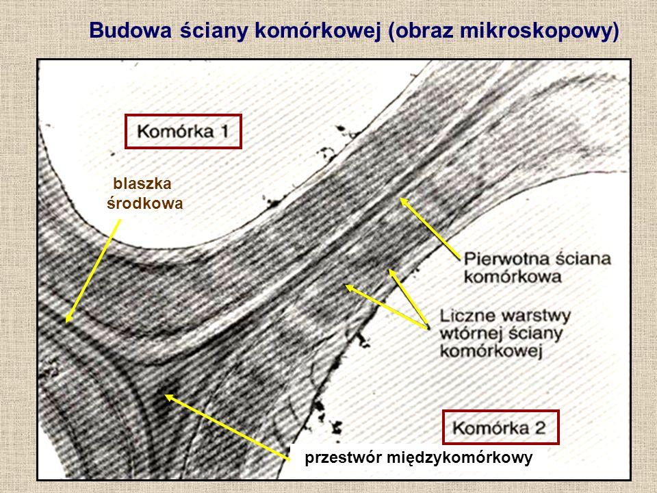 FUNKCJE ŚCIANY KOMÓRKOWEJ chroni protoplast przed wpływami zewnętrznymi, zwłaszcza: - parowaniem wody - patogenami stanowi szkielet komórki, warunkujący jej: - wzrost - ostateczny kształt - wzmocnienie - zabezpieczenie przed ciśnieniem turgorowym może gromadzić substancje zapasowe (hemicelulozy zapasowe) stanowi w roślinie drogi transportu międzykomórkowego (tzw.