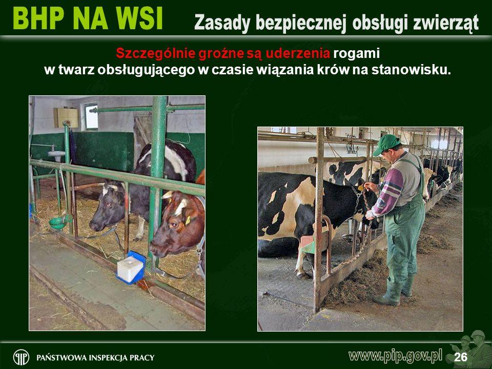 26 Szczególnie groźne są uderzenia rogami w twarz obsługującego w czasie wiązania krów na stanowisku.