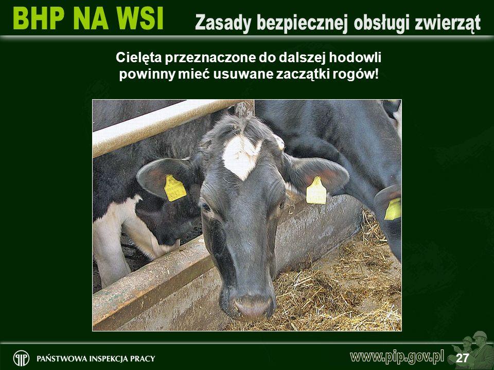 27 Cielęta przeznaczone do dalszej hodowli powinny mieć usuwane zaczątki rogów!