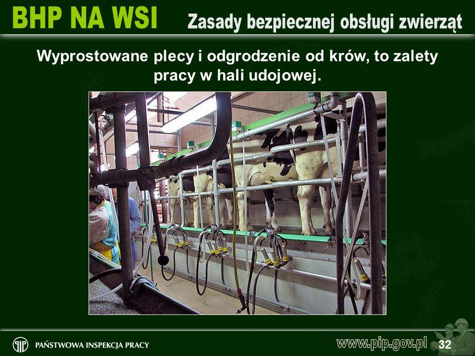 32 Wyprostowane plecy i odgrodzenie od krów, to zalety pracy w hali udojowej.