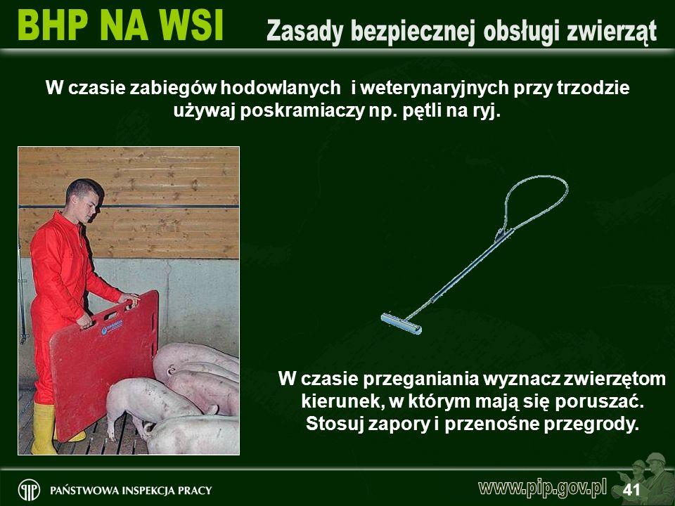 41 W czasie zabiegów hodowlanych i weterynaryjnych przy trzodzie używaj poskramiaczy np. pętli na ryj. W czasie przeganiania wyznacz zwierzętom kierun