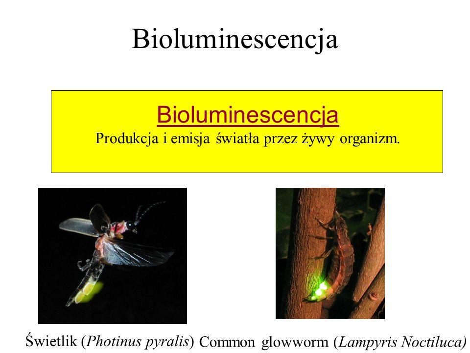 Bioluminescencja Produkcja i emisja światła przez żywy organizm. Świetlik (Photinus pyralis) Common glowworm (Lampyris Noctiluca)