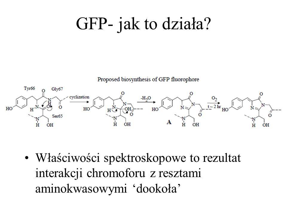 GFP- jak to działa? Właściwości spektroskopowe to rezultat interakcji chromoforu z resztami aminokwasowymi dookoła