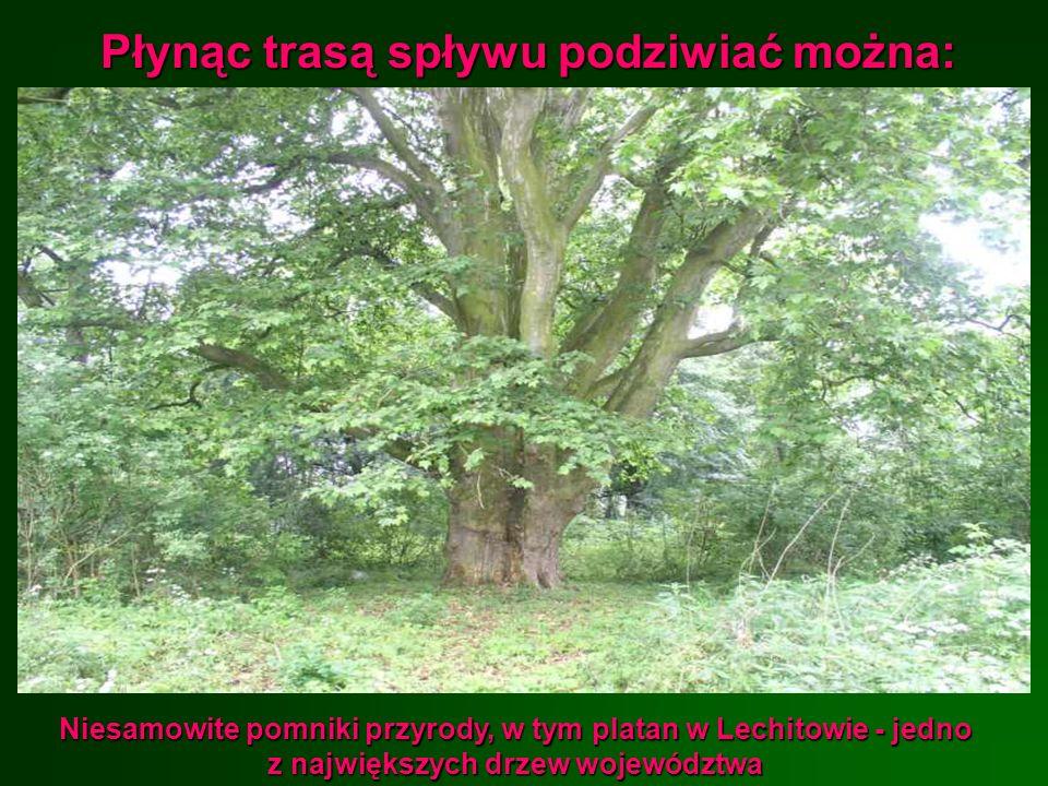Płynąc trasą spływu podziwiać można: Niesamowite pomniki przyrody, w tym platan w Lechitowie - jedno z największych drzew województwa
