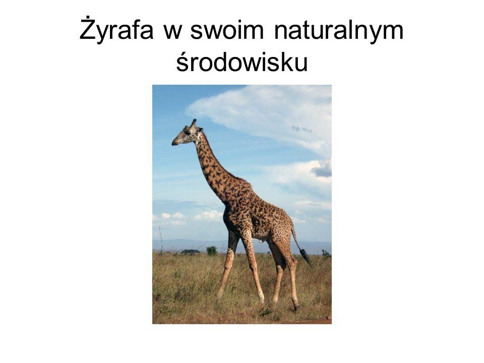 Żyrafa w swoim naturalnym środowisku