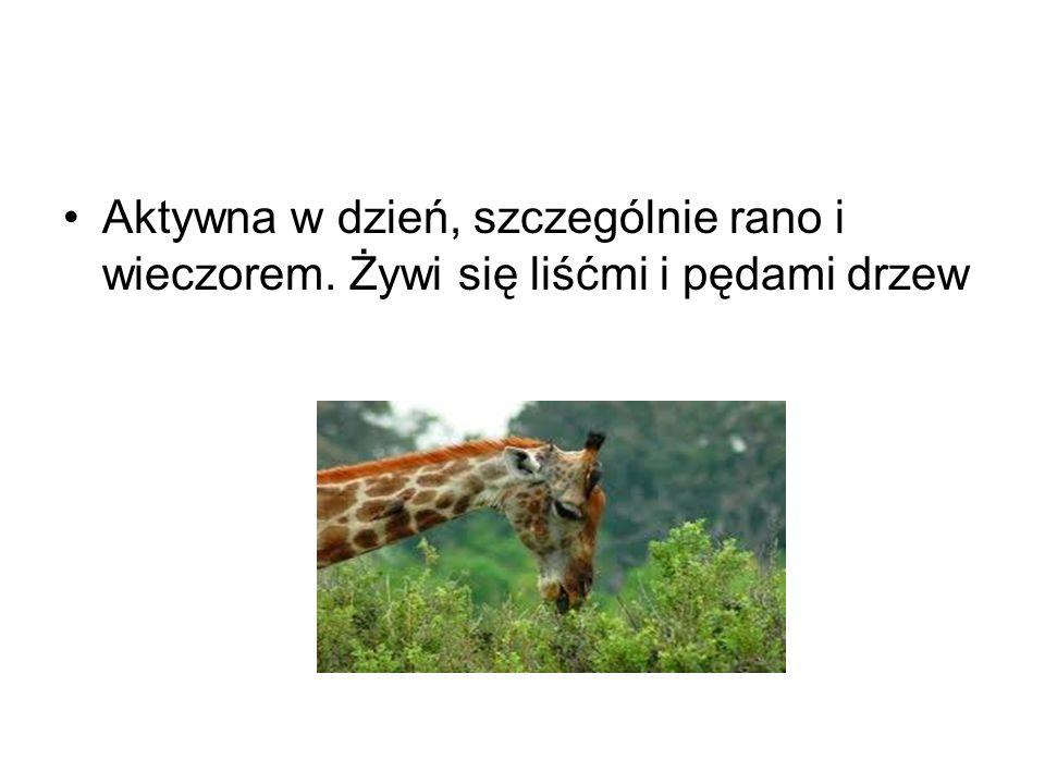 Zagrożenia Żyrafy potrafią szybko biegać osiągając prędkość 55 km/h.
