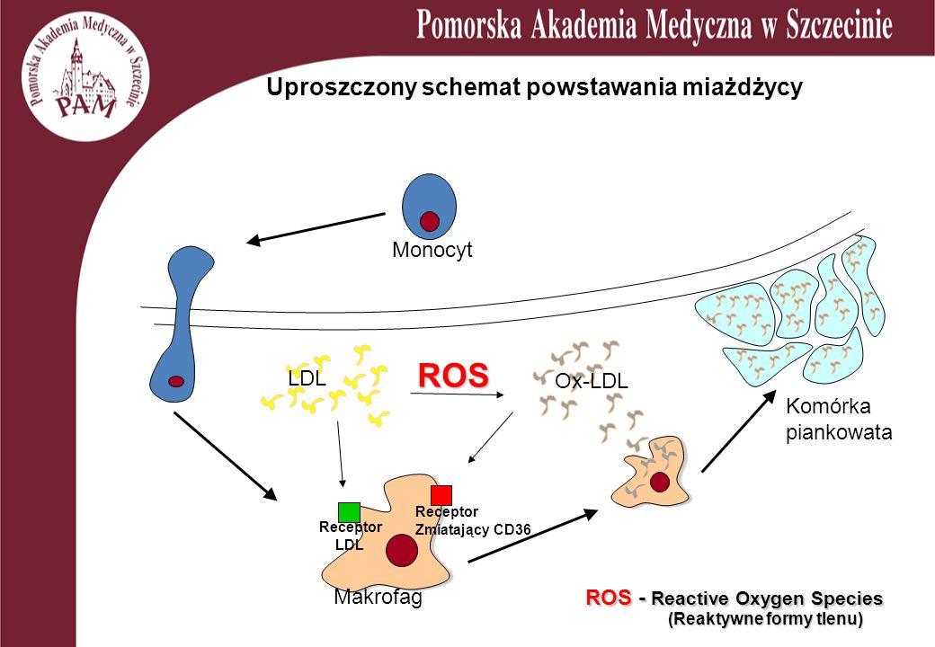 Uproszczony schemat powstawania miażdżycy LDL Ox-LDL Monocyt Makrofag Komórka piankowata ROS (Reaktywne formy tlenu) ROS - Reactive Oxygen Species Rec
