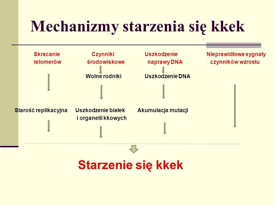 © W.Domagała Mechanizmy starzenia się kkek Skracanie Czynniki Uszkodzenie Nieprawidłowe sygnały telomerów środowiskowe naprawy DNA czynników wzrostu W